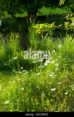 Oxeye Daisies, Leucanthemum vulgare, herbaceous perennials in country garden in the UK - Stock Photo