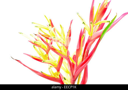 Tropical red Heliconia flower, Heliconia psittacorum LadyDi, isolated on a white background - Stock Photo