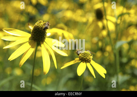 gelbe blumen sonnenhut deutschland yellow flowers germany stock photo royalty free image. Black Bedroom Furniture Sets. Home Design Ideas