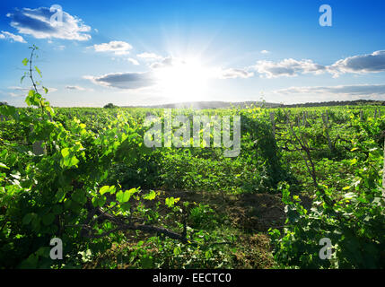 Beautiful sunny day in the summer vineyard - Stock Photo