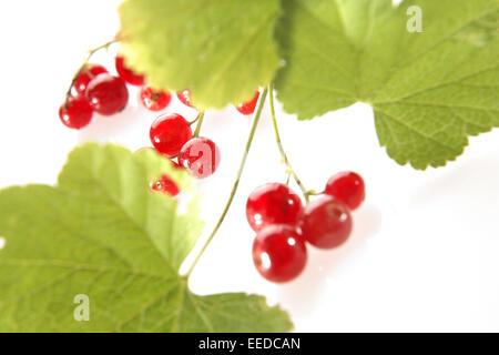Rote Johannisbeeren, Ribes rubrum, Obst, Fruechte, Sommerobst, Beerenobst, Beerenfruechte, Stachelbeergewaechse, - Stock Photo