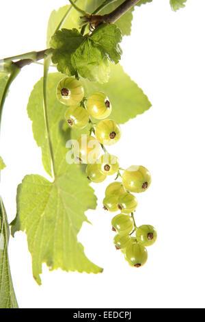 Weisse Johannisbeeren, Ribes rubrum, Obst, Fruechte, Sommerobst, Beerenobst, Beerenfruechte, Stachelbeergewaechse, - Stock Photo