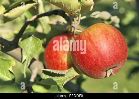 Aepfel, Aeste, Anbau, Apfel, Apfelbaeume, Apfelbaum, Ast, Aussenaufnahme, Baum, Frucht, Fruechte, Natur, Obst, Obstbaeume, - Stock Photo