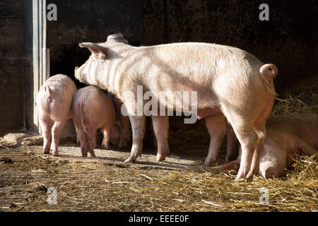 Pigs in an open-air stable, Winnenden, Germany, Jan. 1, 2015. - Stock Photo