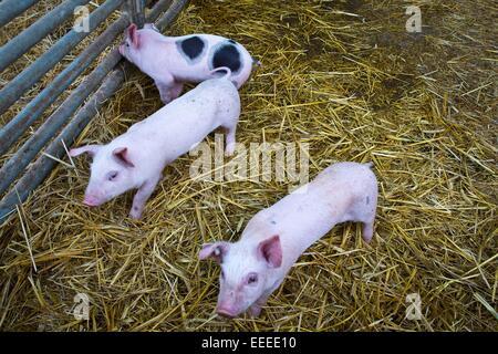 Piglets in an open-air stable, Winnenden, Germany, Jan. 1, 2015. - Stock Photo