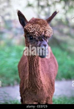 Juvenile Brown Alpaca (vicugna pacos) - Stock Photo