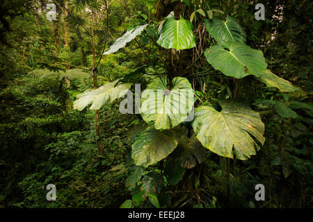Big epiphyte plants growing high up on trees in the beautiful, lush Costa Rican cloudforest.