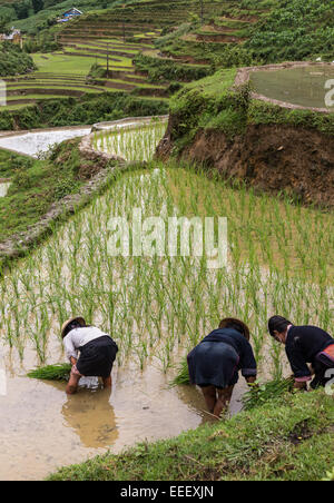 Black Hmong women planting seedlings in terraced rice paddy during rainy season, Cat Cat village, near Sapa northern - Stock Photo