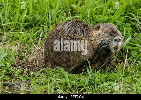 Coypu, also known as the river rat or nutria, is a large, omnivorous, semi-aquatic rodent. - Stock Photo