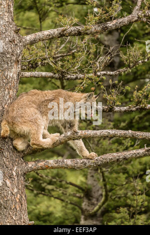 Sub-Adult Canada Lynx climbing in a tree, getting a better view of prey, near Bozeman, Montana, USA. - Stock Photo