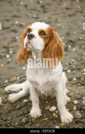 Six month old Cavalier King Charles Spaniel puppy, Mandy, watching her owner for what to do, at Alki beach, Seattle, - Stock Photo