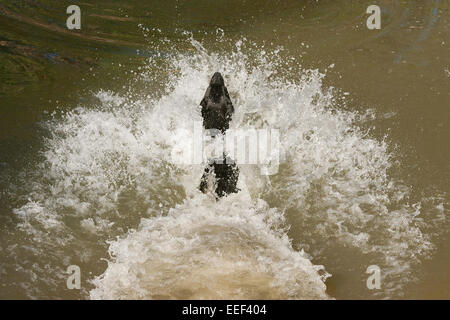 Black Labrador jumping into a pond after a ball, making a huge splash, at a city park in Houston, Texas - Stock Photo