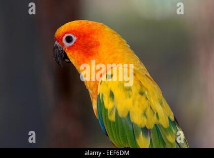 South American Sun Parakeet or Sun Conure (Aratinga solstitialis) - Stock Photo