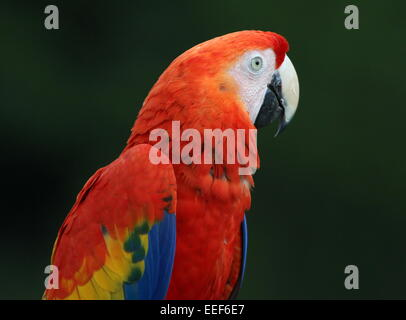 South American Scarlet macaw (Ara macao) portrait in profile against a green background - Stock Photo
