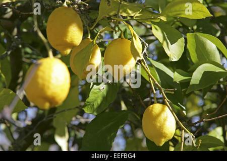 Spanien Mallorca Zitronenbaum Detail Zweige Zitronen Blaetter Citrus limon Fruechte Frucht Frische Gelb Haengen Obstbaum Suedfru