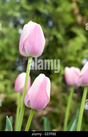 Pink and white tulips flowers. Beautiful pink and white tulips flowers in nature. Tulipa - Stock Photo