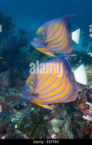 Pair of Blue-ringed Angelfish, Pomacanthus annularis, Triton Bay, West Papua, Indonesia - Stock Photo