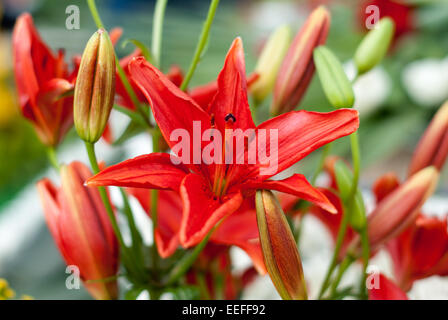 Red lily flower with flower buds in nature - Stock Photo