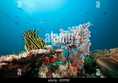 Featherstar in Coral Reef, Triton Bay, West Papua, Indonesia - Stock Photo