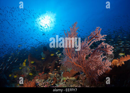 Coral Reef with Sea Fan, Melithaea sp., Kai Islands, Moluccas, Indonesia - Stock Photo