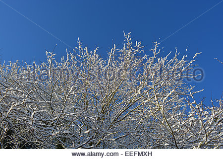 Snow covered branched and twigs seen against a clear blue sky. - Stock Photo