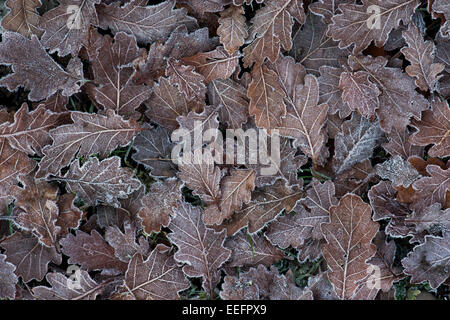 Frost covered oak leaves in winter - Stock Photo