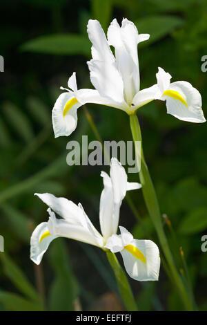 iris aussen blume blumen bluete botanik empfindlich farbe weiss stockfoto lizenzfreies bild. Black Bedroom Furniture Sets. Home Design Ideas