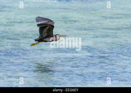 A Pacific Reef Heron flies above the water at Sunabe Beach in Okinawa, Japan. - Stock Photo