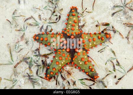 Colorful starfish on wet sand, Zanzibar island - Stock Photo