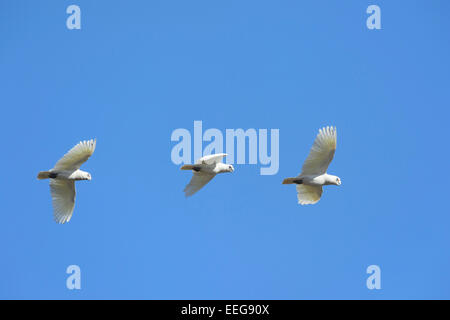 Little Corella - Cacatua pastinator - South Australia - Stock Photo