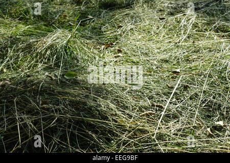 Frisch gemähtes Heu trocknet in der Sonne, Landwirtschaft, Freshly cut hay dries in the sun, Agriculture, agribusiness, - Stock Photo