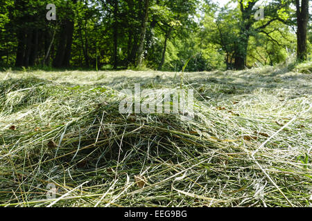 Frisch gemähtes Heu trocknet in der Sonne, Landwirtschaft, Freshly cut hay dries in the sun, Agriculture, agribusiness, - Stock Photo