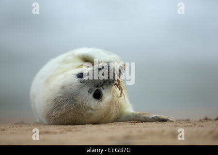 Grey Seal (Halichoerus grypus) pup playing on the beach - Stock Photo