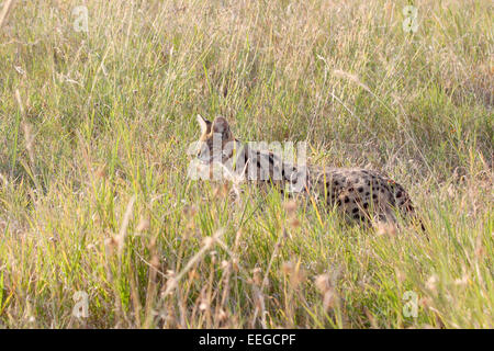 A serval, Leptailurus serval, in the savannah of Serengeti National Park, Tanzania. This medium-sized African wild - Stock Photo