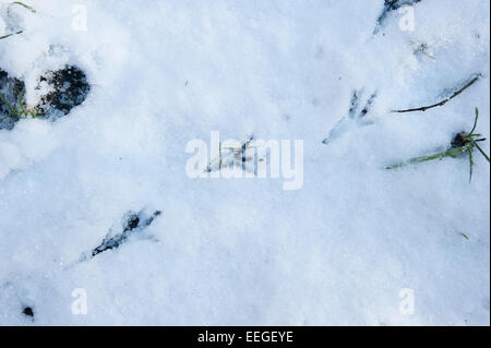 Tredegar, South Wales, UK. 18th January 2015. Crow prints in the snow. The first widespread snow in the UK this - Stock Photo
