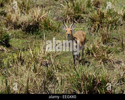 A bohor reedbuck ( Reduca redunca ) in its marshy habitat within the Masai Mara - Stock Photo