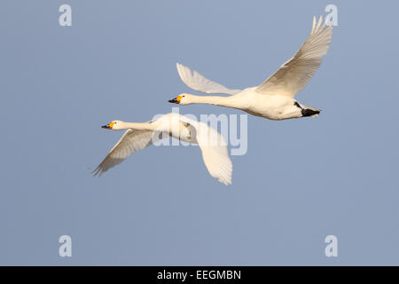 Pair of adult Bewick's Swans in flight - Stock Photo