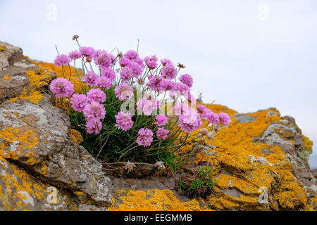 A seapink plant also known as thrift (Armeria maritima) on yellow lichen covered rocks, on the coast in Scotland. - Stock Photo
