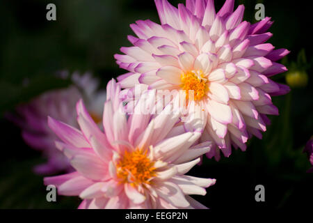 Dahlia blossom - Stock Photo