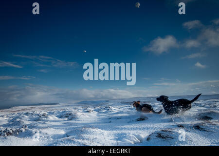 Pets: Dogs chasing two snowballs in the snow, Yorkshire, UK - Stock Photo