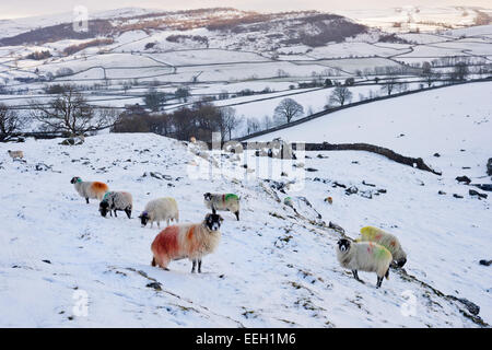 Swaledale sheep grazing on the snow-covered Norber plateau above the village of Austwick, Yorkshire Dales National - Stock Photo