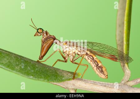 Steirische Fanghaft, Mantispa styriaca, syn. Poda pagana, Mantispa pagana, mantidfly, mantis fly, mantispid, Mantispe de Styrie