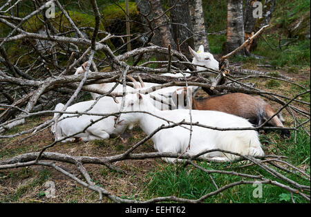 Mountain Goats Sheltering in Woodland Pasture Land below the Briksdalsbreen Glacier, Olden, Norway. - Stock Photo