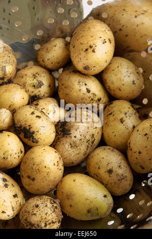 Crop of new potatoes fresh out of the ground - Stock Photo