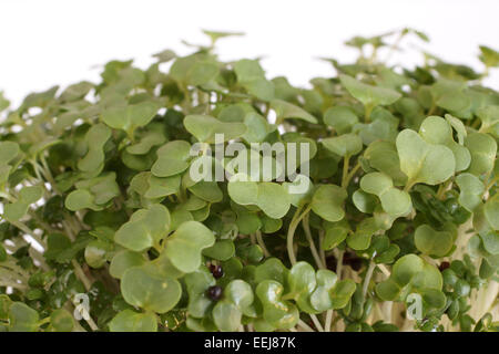 Garden Cress in close up on a white background - Stock Photo