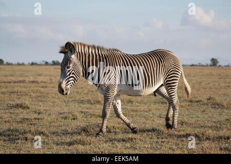 Lone Grevy's Zebra stallion (Equus grevyi) walking across a grassy plain - Stock Photo
