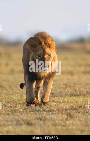 male lion walking towards camera masai mara national park