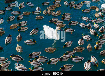Large amounts of ducks and swans. A concept for 'The odd one out' - Stock Photo