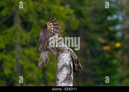 Great grey owl / great gray owl (Strix nebulosa) male bringing mouse to female to feed the chicks in nest on top - Stock Photo