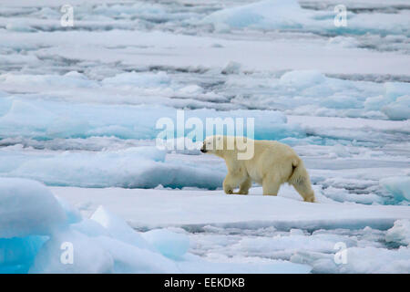 Polar bear (Ursus maritimus / Thalarctos maritimus) walking on pack ice, Svalbard / Spitsbergen, Norway - Stock Photo